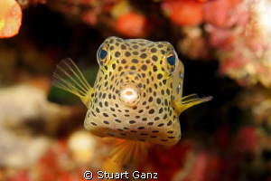 Yellow box fish by Stuart Ganz 
